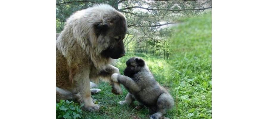 Various ways of training Caucasian Shepherds