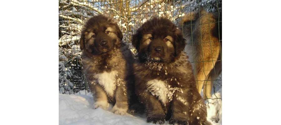 Dog crates for Caucasian Shepherd puppies