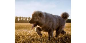 Top activities for Caucasian Shepherds